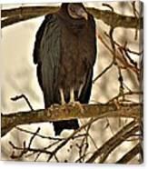 Black Vulture 1 Canvas Print