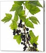 Black Wild Forest Berries Canvas Print