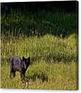 Black Wolf   7251 Canvas Print