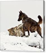 Black Wolf Wrestling Gray Wolf Canvas Print