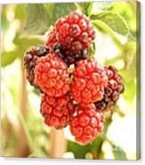 Blackberries Ripening Canvas Print