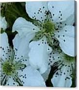 Blackberry Blossoms Canvas Print