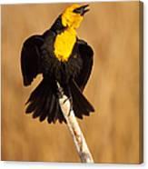 Blackbird Belting Out Song Canvas Print