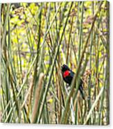 Blackbird In Reeds Canvas Print