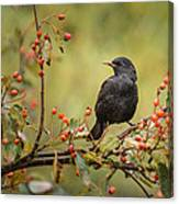 Blackbird On Branch Canvas Print