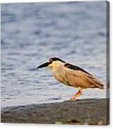 Blackcrowned Night Heron Canvas Print
