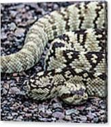 Blacktailed Rattlesnake Canvas Print