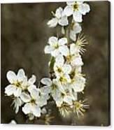 Blackthorn Or Sloe Blossom  Prunus Spinosa Canvas Print