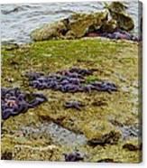 Blanket Of Seastars Canvas Print