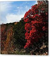 Blazing Maple Tree Canvas Print