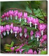 Bleeding Hearts Canvas Print