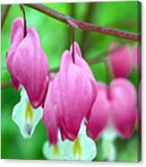 Bleeding Hearts Flowers Canvas Print