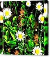 Blended Daisies Canvas Print