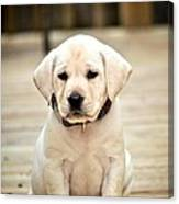 Blond Lab Pup Canvas Print
