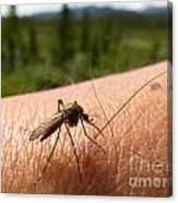 Blood Thirsty Mosquito On Human Arm Canvas Print