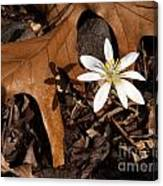 Bloodroot On Forest Floor - Pennsylvania Canvas Print