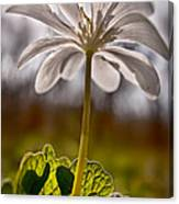 Bloodroot Canvas Print