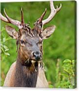 Bloody Elk Canvas Print