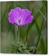 Bloody Geranium Wild Flower Canvas Print