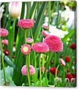 Bloom Pink English Daisies Canvas Print