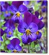 Bloom Purple Violets Canvas Print