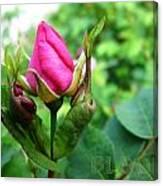 Bloom Wild Rose Bud Canvas Print