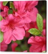 Blooming Azalea Canvas Print