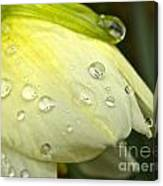 Blooming Daffodil With Raindrops Canvas Print