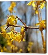 Blooming Forsythia Canvas Print