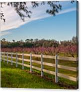 Blooming Peach Tree's At Boone Hall Canvas Print