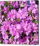 Blooming Pink Azaleas Canvas Print