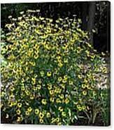 Blooming Rudbeckia Bush Canvas Print