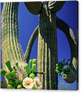 Blooming Saguaro Canvas Print