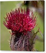 Blooming Spear Thistle Canvas Print