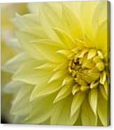 Blooming Yellow Petals Canvas Print