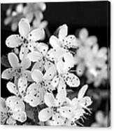 Blossom In Black And White Canvas Print
