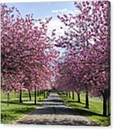 Blossom Lined Walk Canvas Print