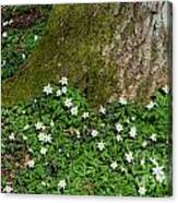 Blossom Windflowers Canvas Print