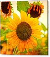 Blossoming Sunflower Beauty Canvas Print