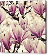 Blossoming Of Magnolia Flowers In Spring Time Canvas Print