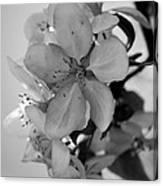 Blossoms 2013 Monochrome Canvas Print