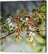 Blossoms And Sparrow Canvas Print