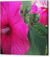 Blosssoms And Buds Hibiscus  Canvas Print