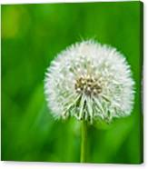 Blowball Of Dandelion - Featured 3 Canvas Print
