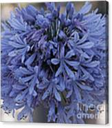 Blue Agapanthus Canvas Print