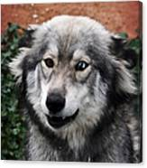 Blue And Brown Eyed Husky Canvas Print
