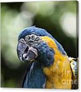 Blue And Gold Macaw V5 Canvas Print