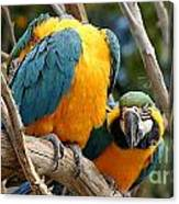 Blue And Gold Macaws Canvas Print