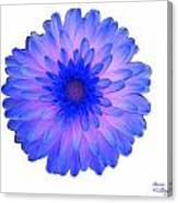 Blue And Pink Dahlia Canvas Print
