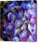 Blue And Purple Hydrangeas Canvas Print